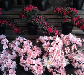 沐春花卉--基地直供游龙悬崖招财进宝等造型杜鹃 年宵花卉带花苞