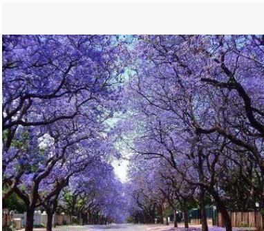 新采蓝花楹种子 蓝花楹 别名蓝雾树