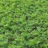紫穗槐营养杯苗