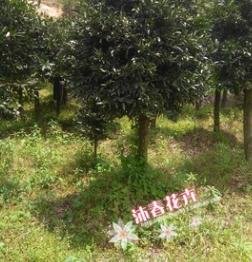基地批发精品竹柏树 四季常青苗木 株高2米蓬径1.5-2米 袋装易活
