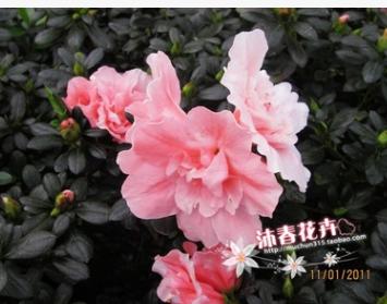 沐春花卉--比利时杜鹃 室内盆栽花卉 靓丽小桃红杜鹃苗批发 16杯