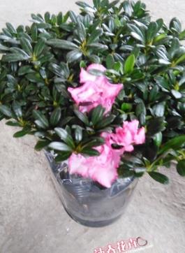 花农直销 比利时西洋杜鹃花 西玛杜鹃花 杜鹃盆栽35-40冠幅