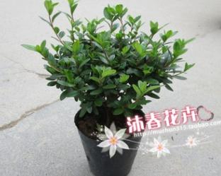 沐春花卉--批发 新品种红灯笼杜鹃苗 比利时西洋杜鹃苗 18杯30cm