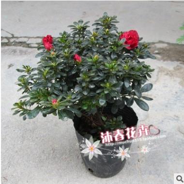 沐春花卉--批发小叶铁红杜鹃盆径大量供应室内盆栽花卉带花苞16杯