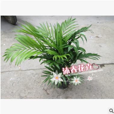 沐春花卉--供应迷你盆栽 常绿观叶植物 袖珍椰子 净化空气小盆景