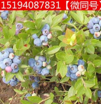 奥尼尔 蓝莓树苗 盆栽水果庭院阳台栽植南方北方当年结果 蓝莓苗