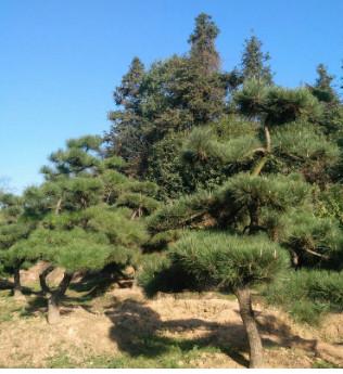 基地直销园林点缀造型五针松 优质绿化苗木 庭院盆栽五针松
