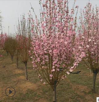 【基地直销】红叶碧桃树苗批发园林景观绿化树红叶碧桃价格合理