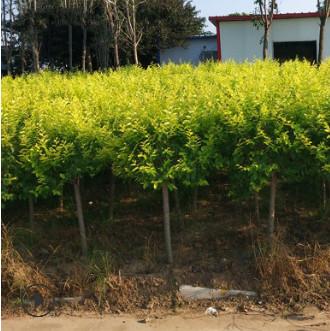 【基地直销】金叶榆树苗黄金榆苗黄金榆枝叶绿化苗榆树小苗行道树