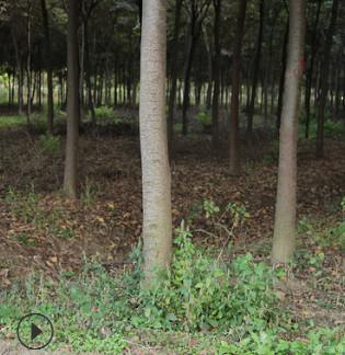 【基地直销】红榉树 红榉 规格齐全 耐寒耐旱榉树 绿化榉树批发