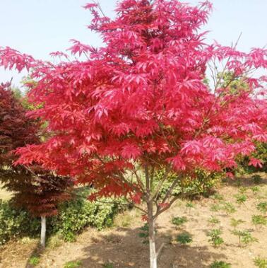 日本红枫苗美国红枫中国红枫苗黄金枫红枫小苗庭院盆栽花卉绿化苗