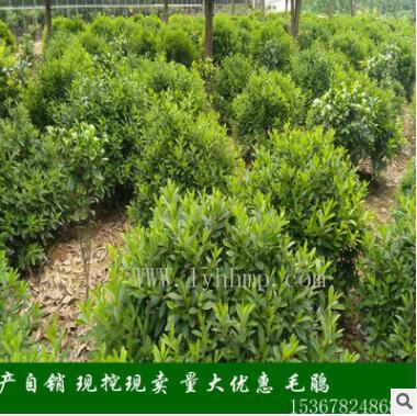 湖南基地现货直销 常绿灌木 冠幅一米 高度一米的园林杜鹃球