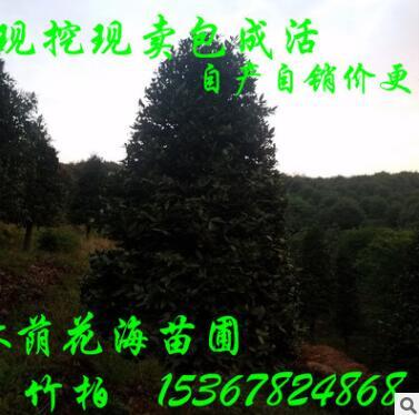 农户直销绿化苗木宝塔型竹柏