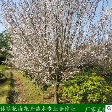 基地直销绿化乔木彩叶景观树行道树紫叶李 红叶李树苗