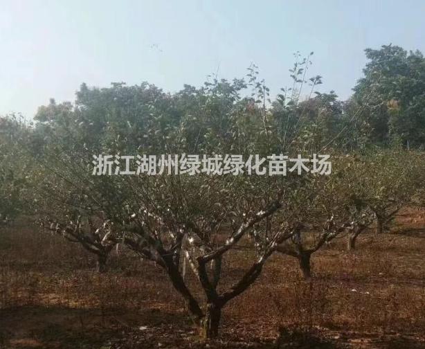 浙江供应红梅 红梅价格 红梅基地直销规格齐全