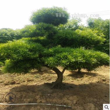厂家直销罗汉松造型树 别墅庭院行道景观树观赏植物罗汉松造型