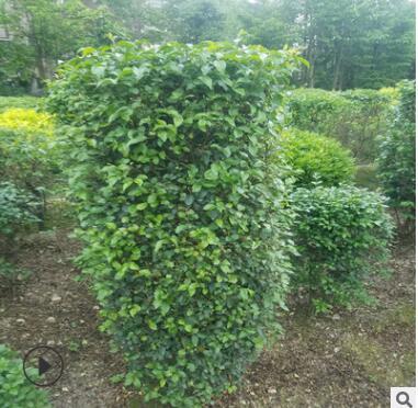 苗木基地批发常绿灌木小叶女贞柱小叶女贞苗 造型树