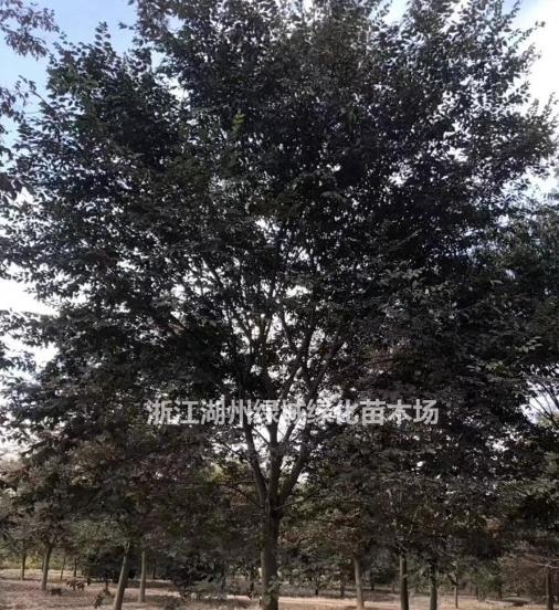 浙江[产品]/浙江榉树 榉树价格 榉树基地直销价格/报价