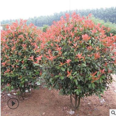 供应红叶石楠球 工程绿化苗木 红叶石楠植物 灌木花卉 基地直销