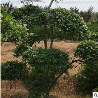 小叶女贞造型树 大量批发高档园林绿化苗木 庭院美化规格齐全