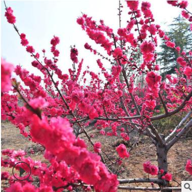 基地批发红梅树苗 园林庭院绿化红梅苗 优质梅花树苗盆景量大优惠