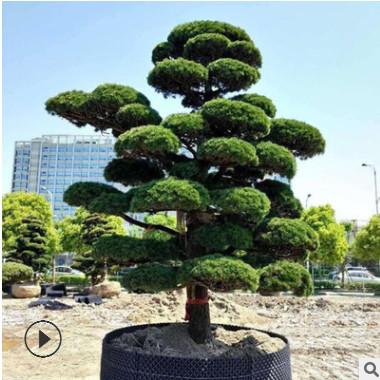 湖南苗圃基地造型罗汉松胸径 庭院绿化风景树造型罗汉松