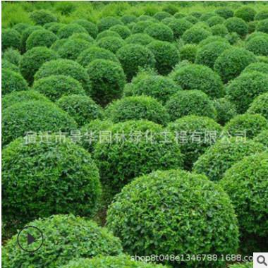 基地直销卫矛 卫矛球 庭院绿篱植物 工程绿化规格齐全 量大价优
