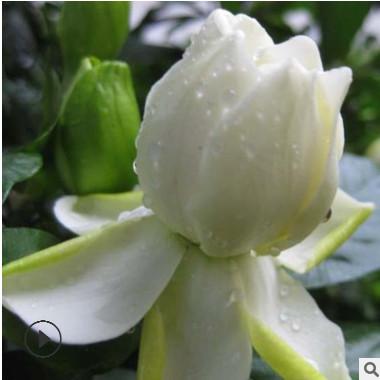 基地直销批发栀子花苗 观花植物绿植墙 小盆栽带花苞观叶植物花卉