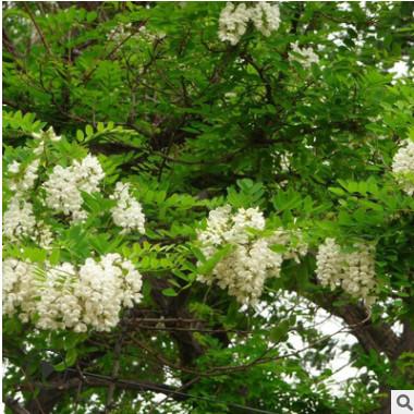 优质刺槐 庭院园林绿化小苗行道树 景观工程乔木 量大从优