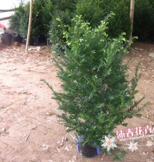 供应绿化苗木 南方红豆杉苗 规格齐全 70-85高 5年苗 量大从优