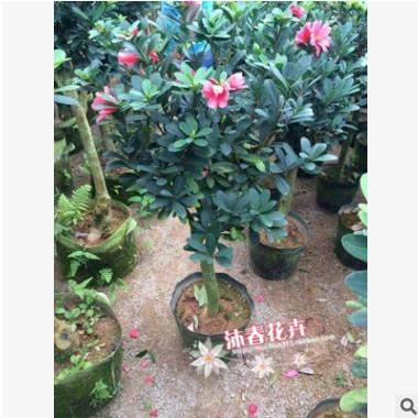 基地直销嫁接四季杜鹃茶 冠幅50厘米以上 直径4-5厘米 保证存活率