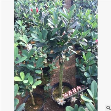 基地直销 嫁接四季杜鹃茶 冠幅30厘米 直径2-3厘米 保证存活率