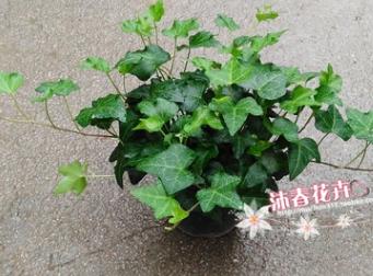 基地批发青叶常春藤 盆栽花卉 净化空气植物 绿化苗木 140杯