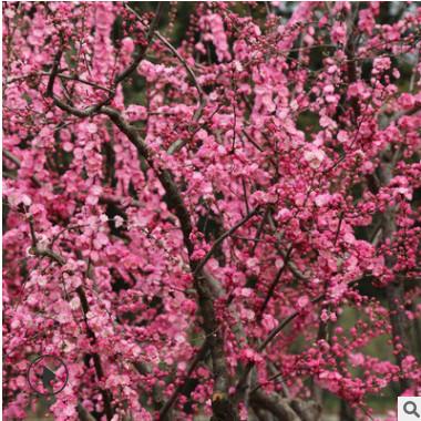 批发榆叶梅树苗绿化苗木庭院盆栽花卉精品盆景嫁接榆叶梅量大优惠