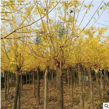 供应黄金槐工程行道树 嫁接黄金槐 黄金槐树 庭院道路 规格齐全