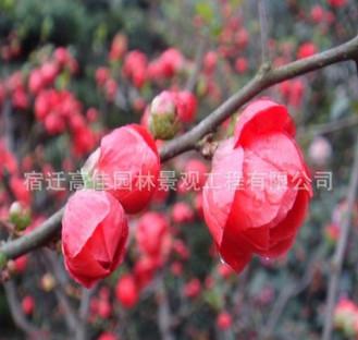 基地批发红梅树苗 园林庭院绿化垂梅苗 优质梅花树苗盆景量大优惠