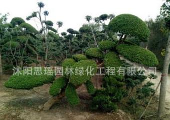 小叶女贞造型盆景树桩球形树苗庭院别墅绿化植物小区绿化苗木包邮