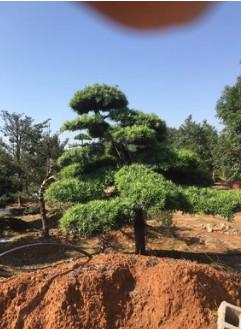 本地造型罗汉松 适合于亭院种植,精品小区的点缀种植 道路的绿化
