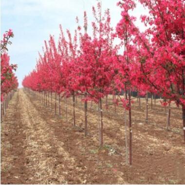 海棠树苗垂丝海棠四季开花日本海棠