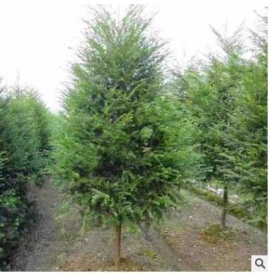 正宗绿化红豆杉树苗