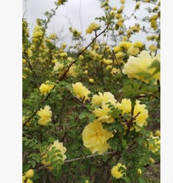 黄刺玫绿化