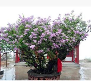四季丁香花苗 庭院/盆栽植物 丁香花树苗 320天循环开花 香飘十里