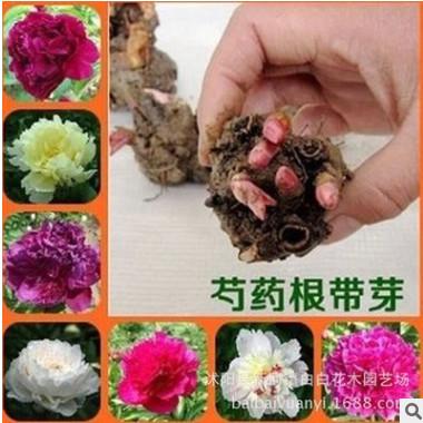 醉美江南园艺场批发芍药 花苗 芍药种根 芍药花 当年可开花包成活