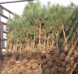 超低价200亩黑松出售 量大从优 黑松树苗 黑松树黑松小苗 规格齐