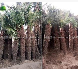 棕榈树苗基地批发绿化工程苗 棕榈树苗行道树品种齐全