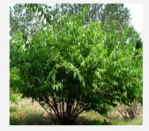 丛生金银木