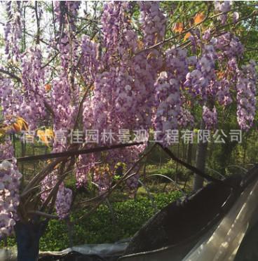 爬滕植物紫藤树 多花紫藤庭院植物紫藤树 紫藤花 盆栽地栽