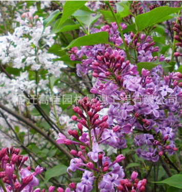 供应观花植物小苗 紫丁香小苗 芳香植物丁香苗 紫丁香 园林绿化
