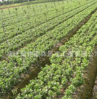 常绿灌木苗直销 火棘苗批发价格 观果类 高30-60cm 可作绿篱