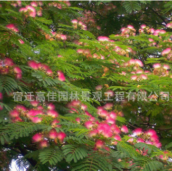 合欢树苗 庭院花卉植物芙蓉树 绒花树苗合欢苗合欢小苗遮阴树木
